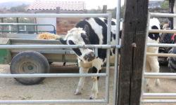 Видео: Умная корова открывает ворота очень оригинальным способом!