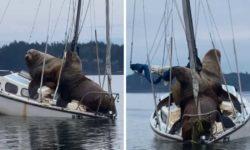 Видео: морские львы выбрали странное место для отдыха! Пострадала лишь маленькая лодка